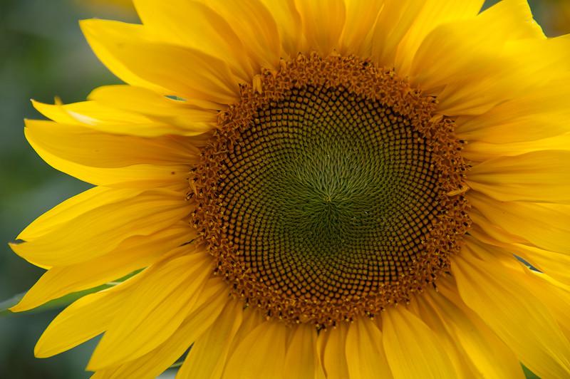 sunflower_ae__2011_cbates0117_sh_web_srgb_1218-3381